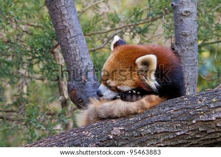 Firefox, Ailurus fulgens