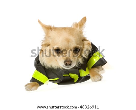 stock photo : Fireman Puppy: Light Brown long hair chihuahua puppy dog