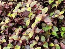 Firepower Nandina plant flourishing under Overcast Ambient