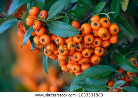 Firethorn (Pyracantha coccinea) berries in the fall season.
