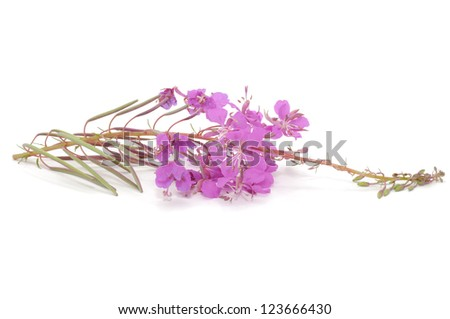 Fireweed (Rosebay Willowherb) Isolated on White Background