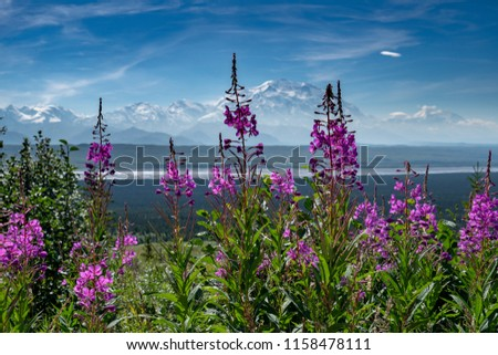 Fireweed wildflowers in the foreground of Mt. Denali (formerly Mt. McKinley) in Denali National Park on a sunny, slightly hazy day