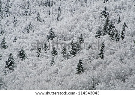 firs and pines covered with white snow in the mountains
