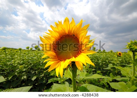first blossoming sunflowers on  background of  green field