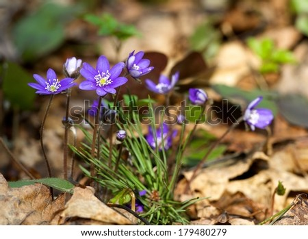 First blue violet flowers on spring time,Artistic violet photo in blur brown background, solitude mood in artistic photo, violet flowers close up, first flowers, spring background