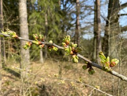 First buds on the tree in the spring nature. Forest trees in Czech Republic starts to grow and sprouts and burgeons appears.
