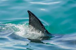 First dorsal fin of a great white shark