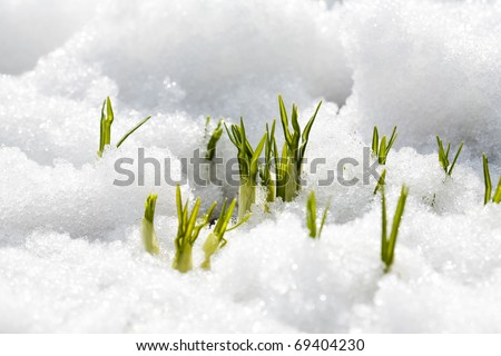First flowers of spring growing through snow