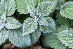 first frost on green nettle mint leaves, view rom above