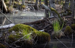 First green swamp grass in wet forest swamp waters in sunny spring day.
