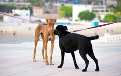 First meeting or introduction between two dogs. Two doggies or dogs smelling each other in their first encounter. Leashed dog pets walking at the street together first met at Spain, 2019.