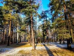 First snow in autumn pine forest. Autumn pine forest first snow. Autumn snow in pine forest. Autumn pine forest first snow
