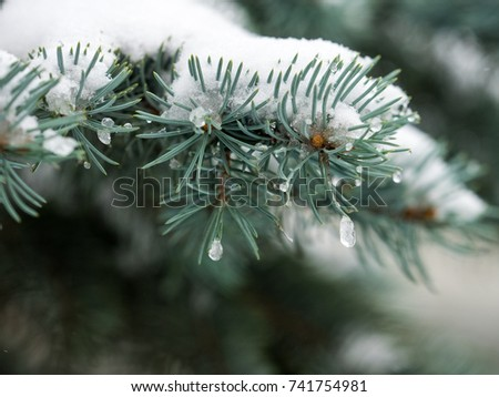 First snow in the city. Branch of fir tree covered with snow, closeup. sharp frosts. fabulous light and colorful picture.