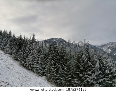 First snow over the pine forest with Rodna mountains in the background in Borsa, Romania Stock fotó ©