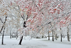 First snowfall in the city park. Snow-covered branch of wild apple tree with red fruits at foreground. Bright winter landscape - fluffy white snow on red apples - fairy tale of winter nature