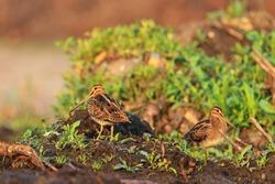 first spring sandpipers bask in the spring sunshine,Spring 2017, migration of birds, waterbirds, wild bird northern birds