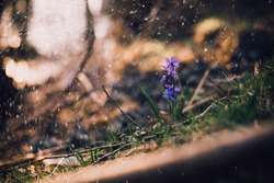 First spring violet or purple flower alone in the forest grounds in rainy day.