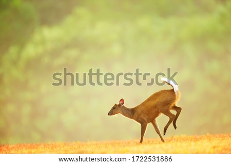 First step of a little fawn on the grassland at sunrise. Khao Yai National Park, Thailand, UNESCO World Heritage Site. stock photo