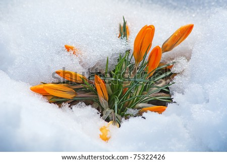 first yellow crocus flowers, growing in the snow