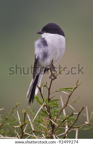 Fiscal shrike (lanius collaris) at Addo Elephant Park in South Africa.