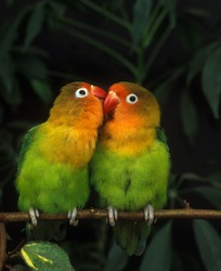 Fischer's Lovebird, agapornis fischeri, Adults standing on Branch