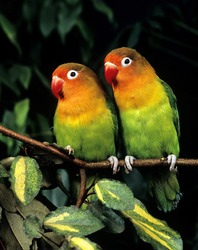 Fischer's Lovebird,  agapornis fischeri on branch