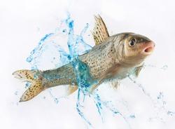 fish and water splash on white background