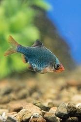 Fish Barbus tetrazona in a freshwater aquarium. portrait.