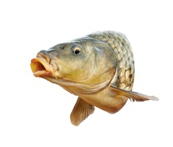 Fish. Carp head with open mouth