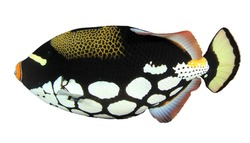 Fish - Clown Triggerfish isolated on white background