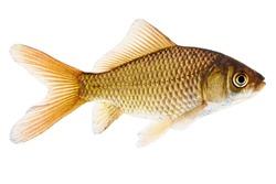 Fish. Common Goldfish Isolated on White Background