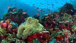 Fish dance a top coral reef at batu bolong
