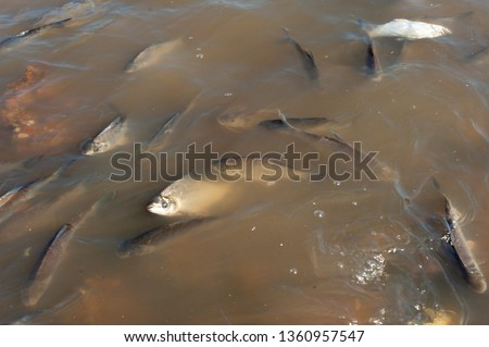 Fish Dying at Polluted Waters of Rio de la Plata, Buenos Aires, Argentina. Streaked Prochilod (Prochilodus lineatus)  #1360957547