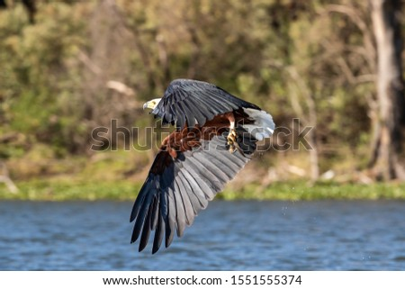 Fish eagle, Haliaeetus vocifer, catching a fish from the surface of Lake Naivasha, Kenya. These skilled predators will snatch fish from the water with their strong and sharp talons. #1551555374