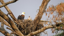 Fish eagle Parents with Chicks in the nest. Rwanda, Africa