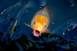 Fish eating food in pond from feeding of people travel relaxing time of summer holiday, many fish in river, golden tilapia fish swimming and open mouth for eating food from feed