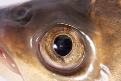 Fish eye close-up