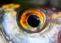 Fish eye close up. Close up with shallow DOF.