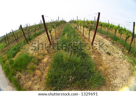 fish eye picture of rows of young grapes in wineyards of southen Germany region Rheinland Pfalz