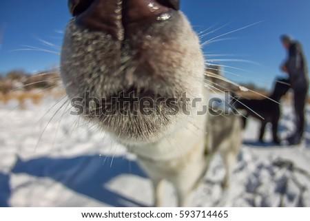 Fish Eye portrait of husky dog muzzle closeup. #593714465