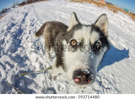 Fish Eye portrait of husky dog muzzle closeup. #593714480