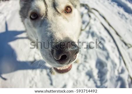 Fish Eye portrait of husky dog muzzle closeup. #593714492