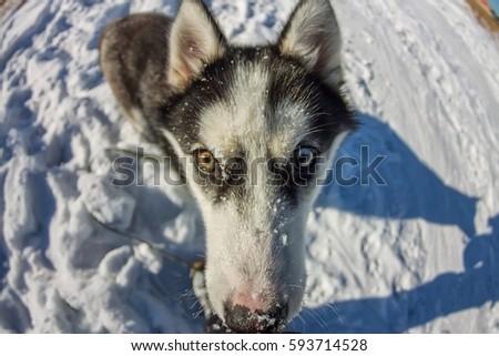 Fish Eye portrait of husky dog muzzle closeup. #593714528
