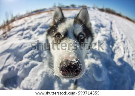 Fish Eye portrait of husky dog muzzle closeup. #593714555