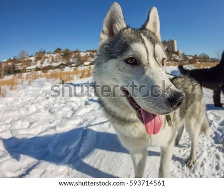 Fish Eye portrait of husky dog muzzle closeup. #593714561
