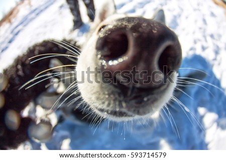 Fish Eye portrait of husky dog muzzle closeup. #593714579