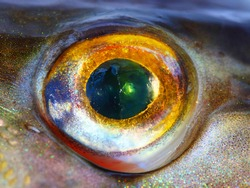 Fish eye (The Northern Pike - Esox Lucius) close up.