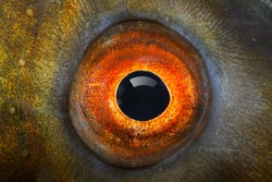 Fish eye (The Tench - Tinca Tinca) close up.