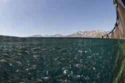 Fish farm, School of fish gilt-head bream (Sparus aurata).