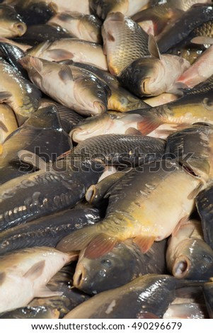 Fish farming, farm for the breeding of carp, pike and sturgeon. Catch biomass and manual sorting of fish. #490296679